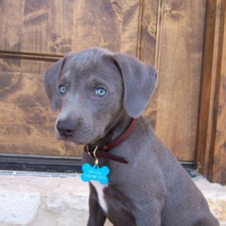 blue lacy puppy blue lacy puppy blue lacy