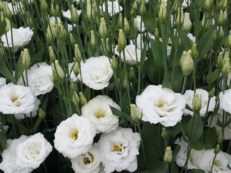 fiori lisianthus lisianthus bianco piante perenni lisianthus bianco