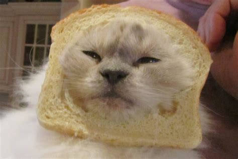Cat Toast Meme - cat toast meme toast cat imgflip cat toast meme 28 images