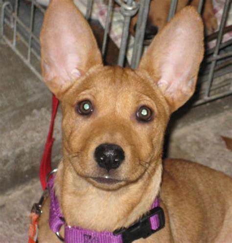 basenji mix puppies basenji chihuahua mix dogs breeds picture