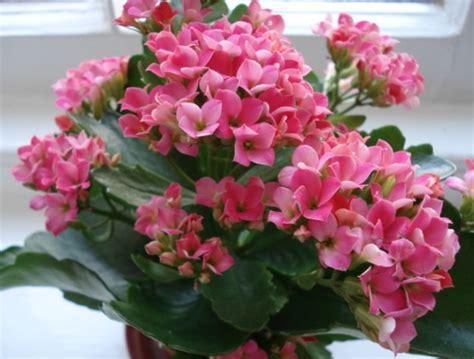 Tanaman Hias Kalanchoe Kuning daftar nama bunga lengkap beserta gambar dan penjelasannya