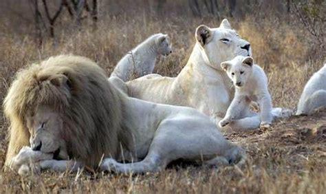 imagenes de leones reproduciendose theafricanexperiences safaris en pases de frica