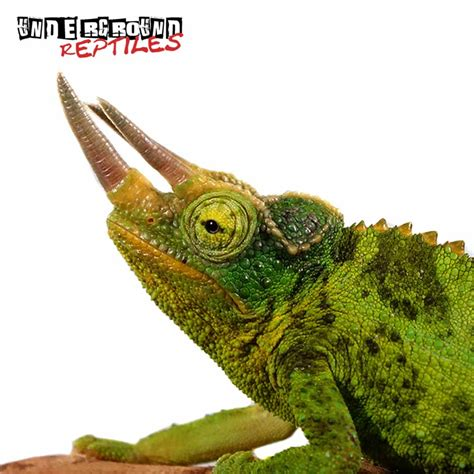Home And Decor Store by Jackson S Chameleons For Sale Underground Reptiles