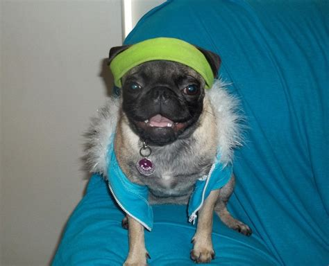 cool pug my n cool pug bailey p s joys
