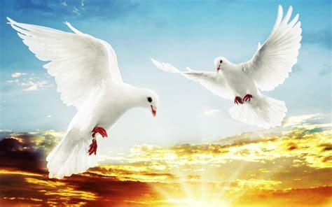 doves hd wallpaper 557370 jpg best dove hd wallpaper