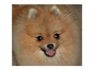pomeranian puppies for sale in redding ca pomeranian puppies in california