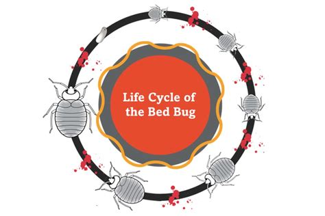 bed bug behavior bed bug biology and behavior