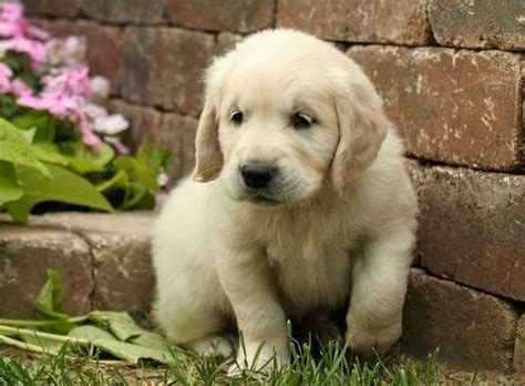 golden retriever puppies ontario for sale delightful golden retriever puppies for sale adoption from toronto ontario adpost