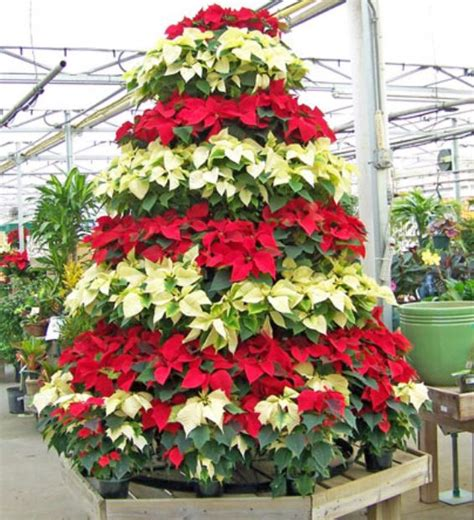 white and red poinsettias christmas tree jpg