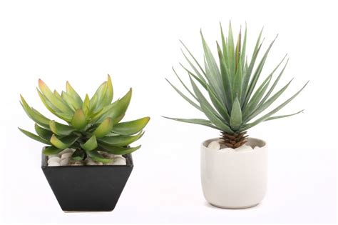 how to care for agave plants in pots