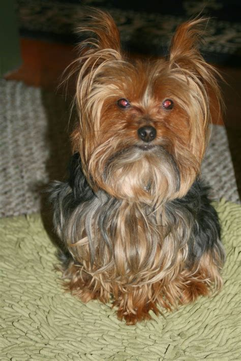 yorkie haircuts pictures only miniature yorkshire terrier