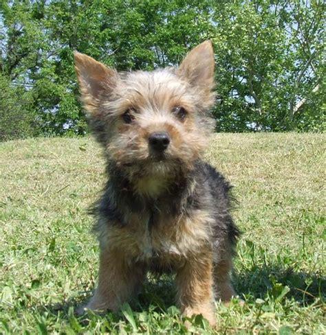 norwich terrier puppy rat terrier puppy page 2 rat terrier puppy page 3 breeds picture
