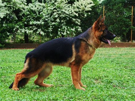 cani taglia media appartamento da guardia migliore dalla taglia piccola a quella