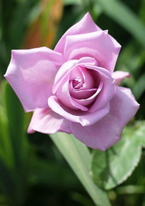 ricette con fiori commestibili fiori commestibili le mie ricette con e senza