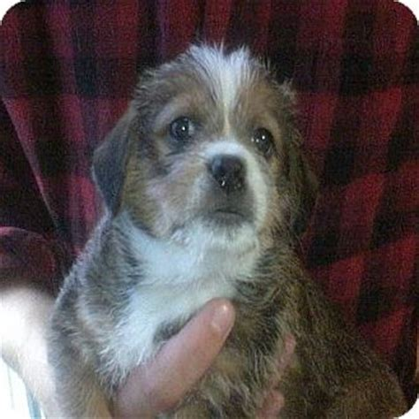 shih tzu hound mix mercedes adopted puppy hop bottom pa basset hound shih tzu mix