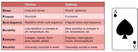 protein vs enzyme fibrous vs globular proteins bioninja