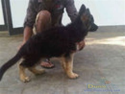 Afkir Surabaya dunia anjing jual anjing german shepherd jl ankn