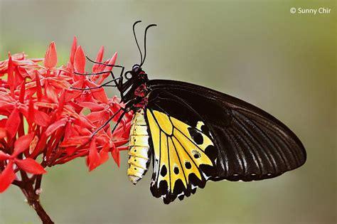 Tikar Lipat Motif Kupu Kupu Besar si cantik kupu kupu raja troides helena terancam punah felixiaamanda