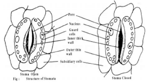 stomata diagram structure of stoma and mechanism of stomatal opening and