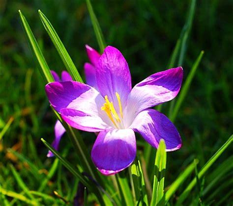 imagenes de rosas violetas im 225 genes de flores y plantas violeta