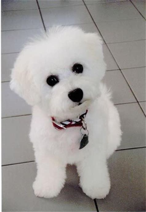 Bichon Frise Also Search For Bichon Frise Animals