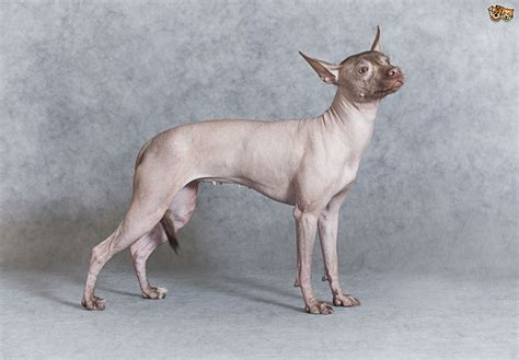 hairless dogs some helpful facts and information about hairless breeds pets4homes