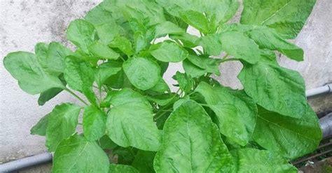 tanamsendiri grow your own gambar oleh rakan tanamsendiri bayam putih daun bulat