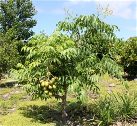 Planter Des Fougères by Pommier De Cyth 232 Re Fruit Le Z 233 Vi Flore De La R 233 Union