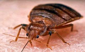 how are bed bugs transferred bed bugs questions and answers