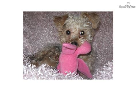 yorkies for sale portland oregon yorkiepoo yorkie poo for sale for 450 near portland oregon ca5bf4eb 8251