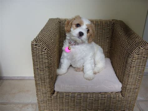 cavapoochon puppies for sale cavapoochon puppies for sale chester le county durham pets4homes
