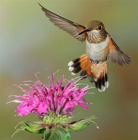 hummingbirds are returning to cranbrook bc area nature