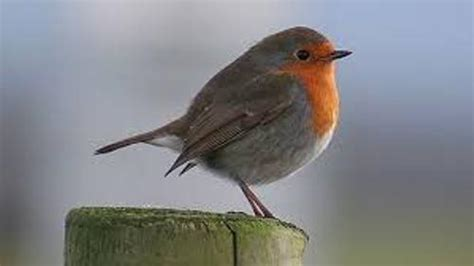 10 interesting robin facts my interesting facts