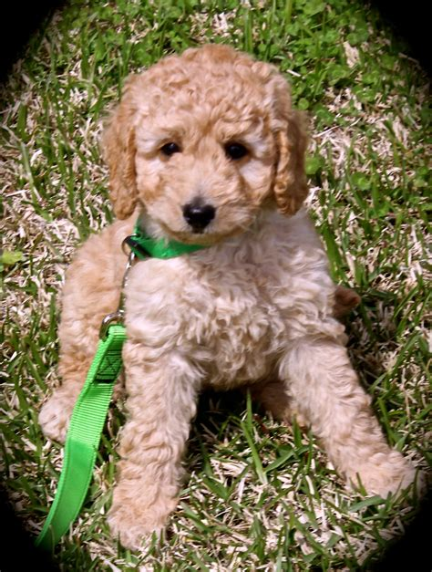 labradoodles puppies for sale qld australian labradoodle puppy for sale picture photo