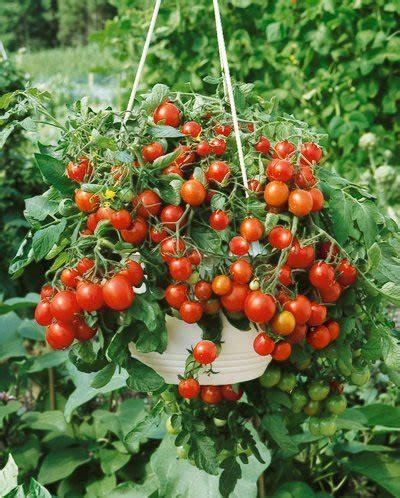 everything in gilbert arizona patio hybrid tomato seeds