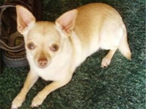 chihuahua puppies for sale in va chihuahua puppies for sale