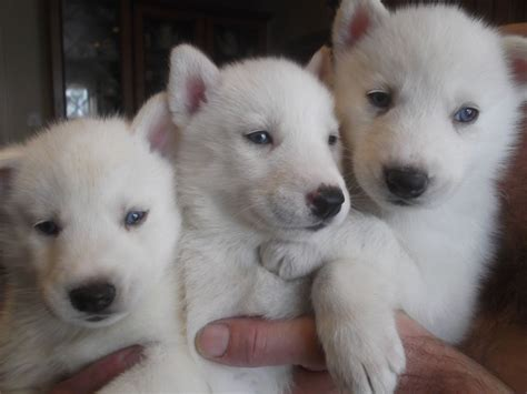 husky puppies with blue kc siberian blue husky puppies birmingham west midlands pets4homes