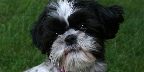 how big does a teacup shih tzu get yorkie rescue related keywords suggestions yorkie rescue breeds picture