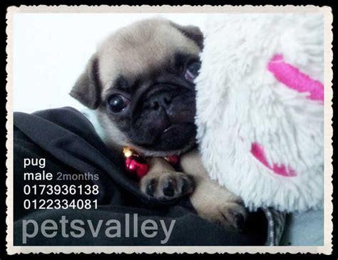mini pugs for adoption best phone rm1500 newhairstylesformen2014
