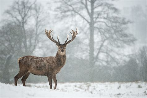 Snowing Deer deer in snow by george wheelhouse photo 27043811