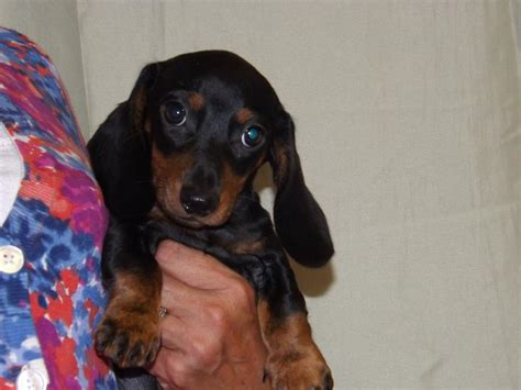 dachshund puppies tn akc miniature dachshund breeders dachshund puppies for sale in tn