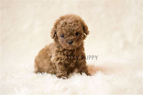 teacup poodle puppies sold teacup apricot poodle itsy puppy teacup microteacup puppies