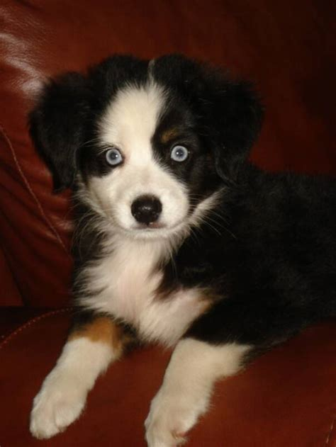 mini australian shepherd puppies for sale in our aussies