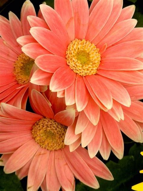 Ideas For Gerbera Flowers 25 Best Ideas About Flower Pictures On Field Flowers And Flower