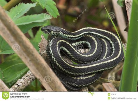 Garden Snake Delaware Garden Snake Royalty Free Stock Photo Image 170675