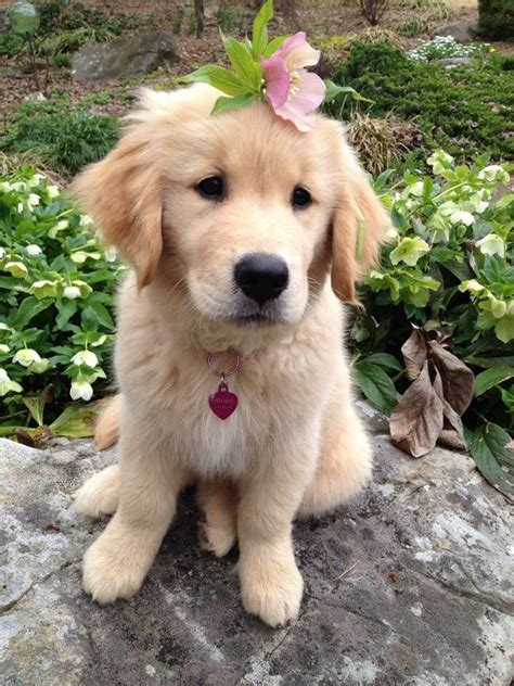 golden retriever or goldendoodle 17 best ideas about mini goldendoodle breeders on