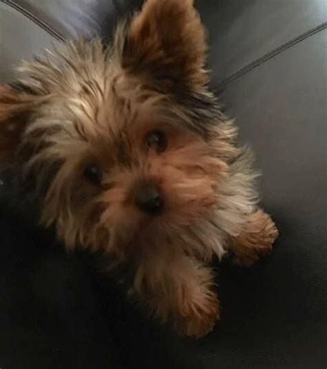 teacup yorkie illinois 1284 best images about yorkies bundles of on terrier