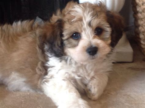 Non Shedding Mixed Breeds by Adorable Non Moulting Puppies Shitzon X Cavichon Salford