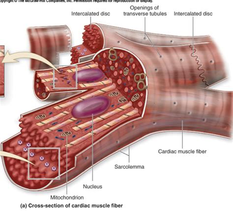 cardiac muscle cross section 1000 images about heart muscle cells on pinterest