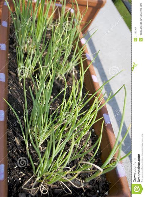 cipolle in vaso cipolla che germoglia in vaso sul balcone fotografia stock